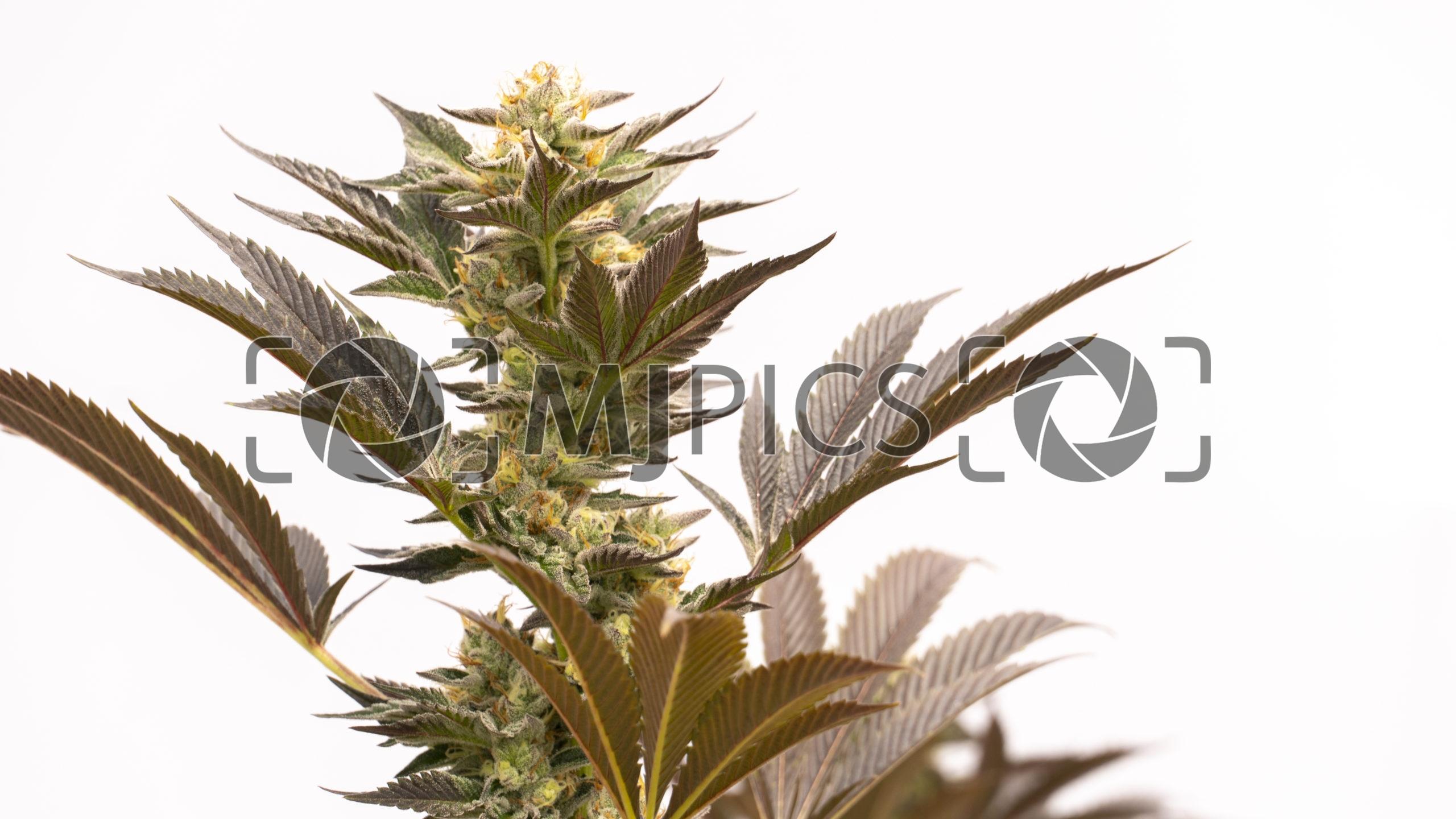Blue Fruit Autoflower 10000374 download