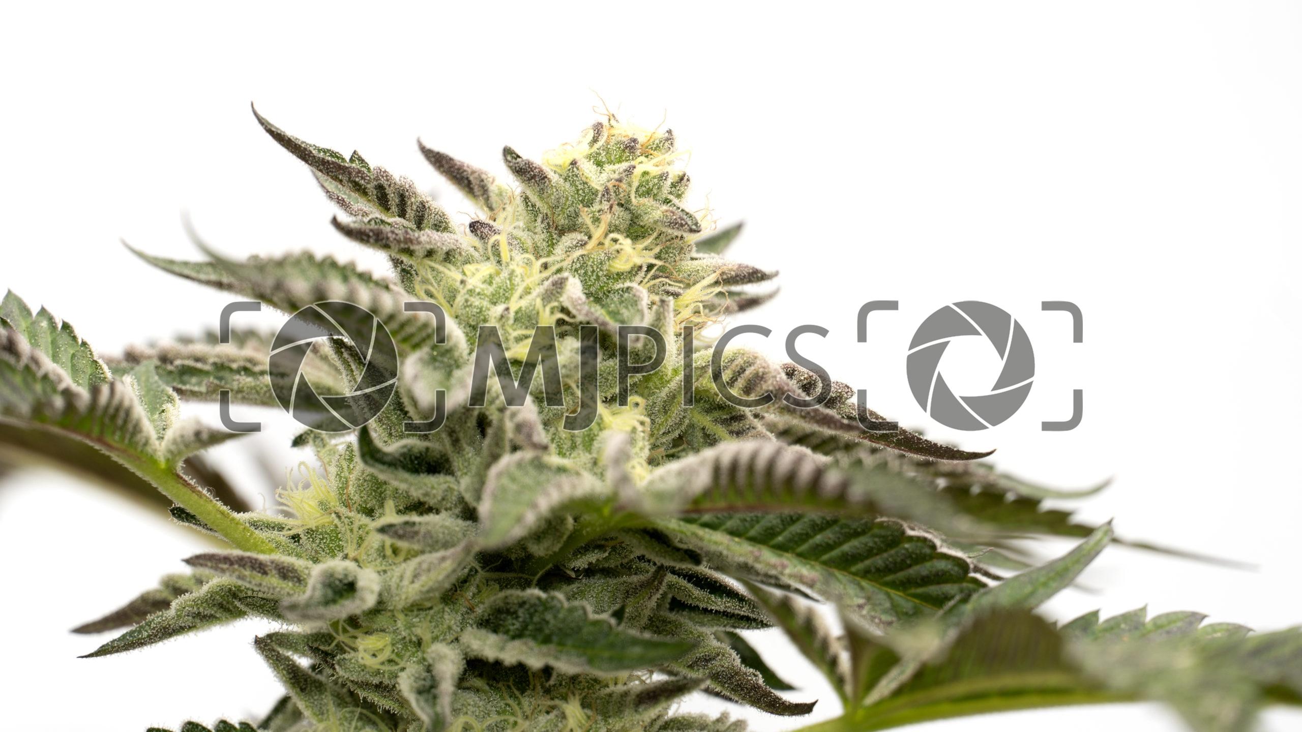 Blueberry X Big Bud Autoflower 10000411 download