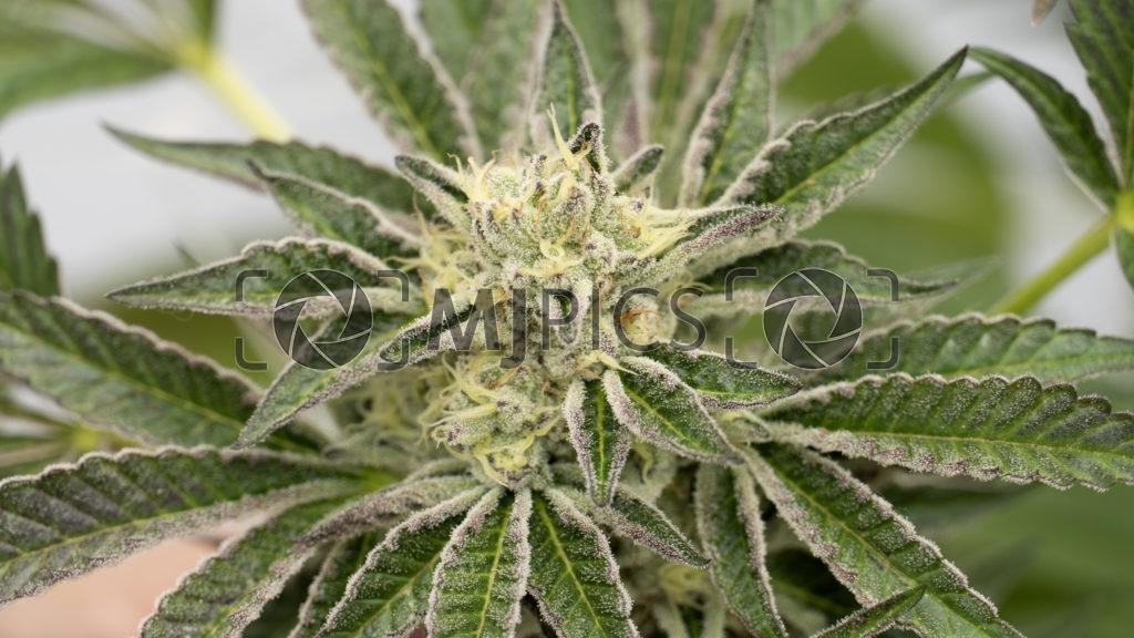 Blueberry X Lemon Haze Autoflower 10000425 download