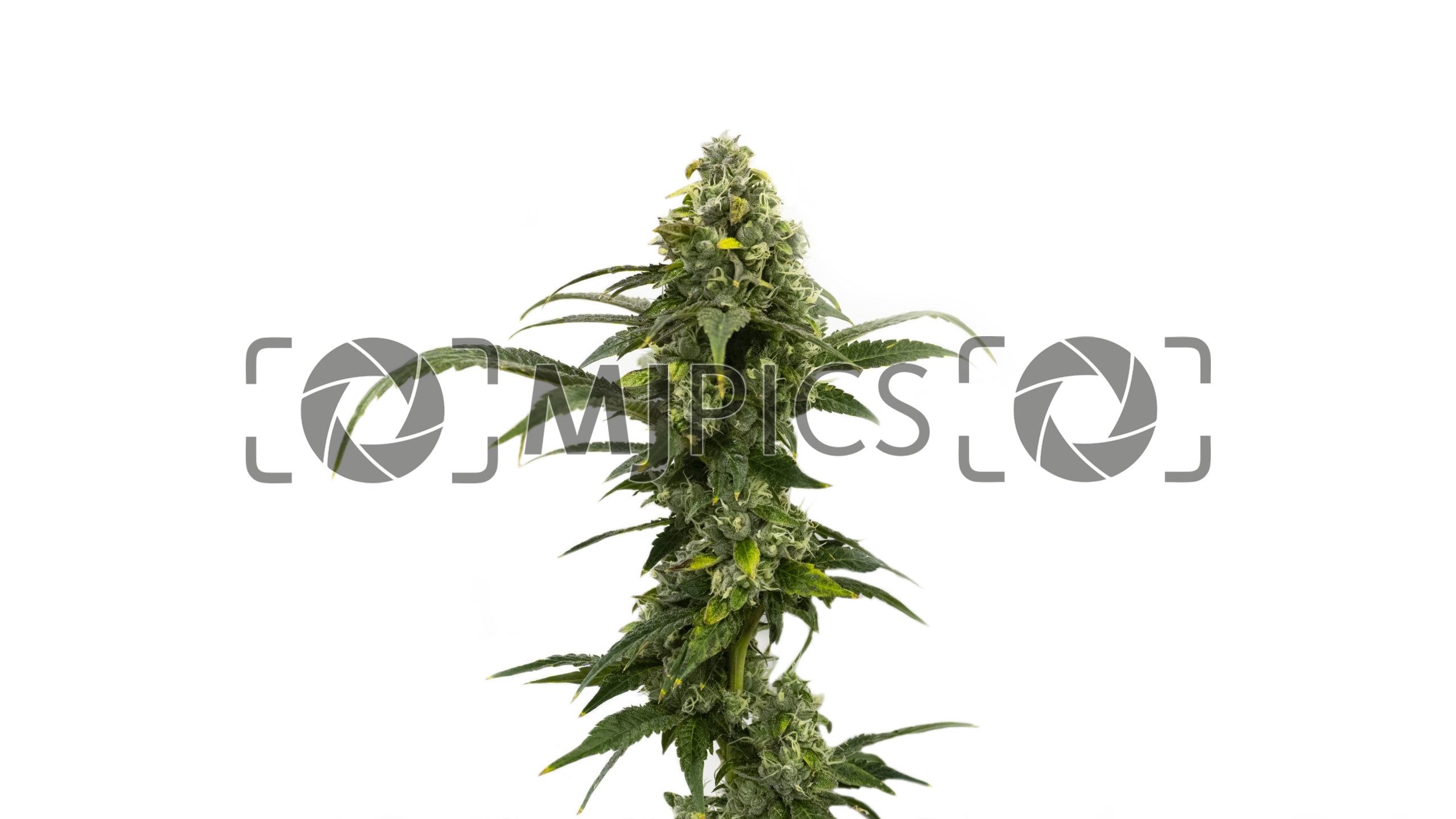 Amnesia Autoflower 10000497 download