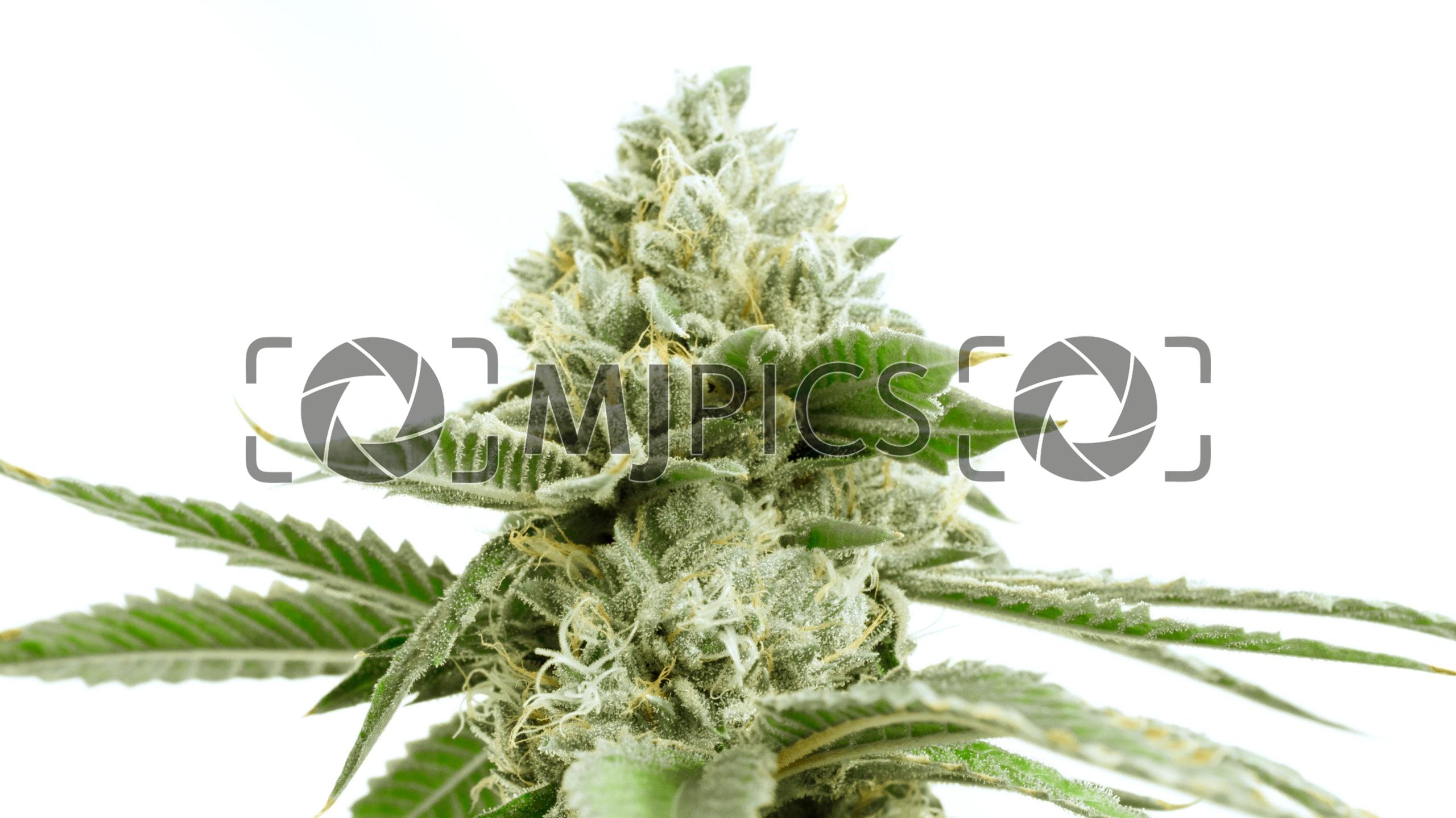 Critical x Green Crack 10000743 download