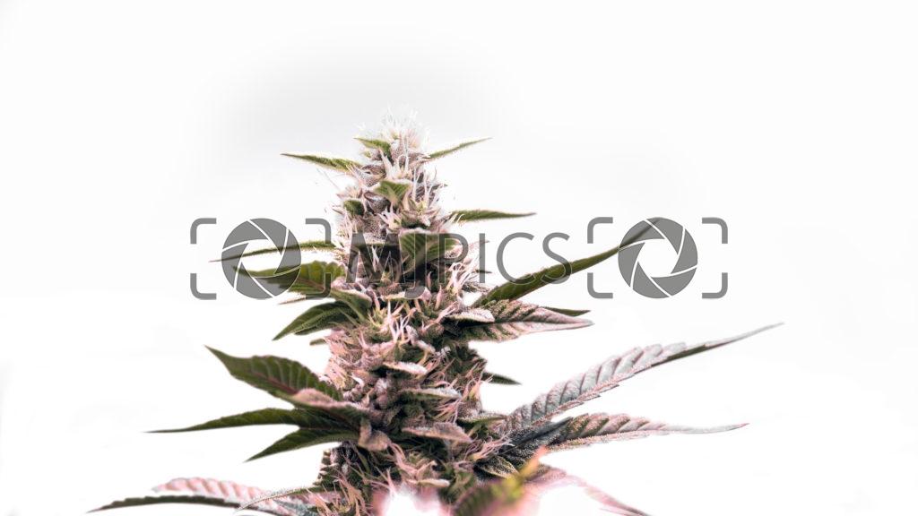 Green Crack x Amnesia Haze 10000801 download