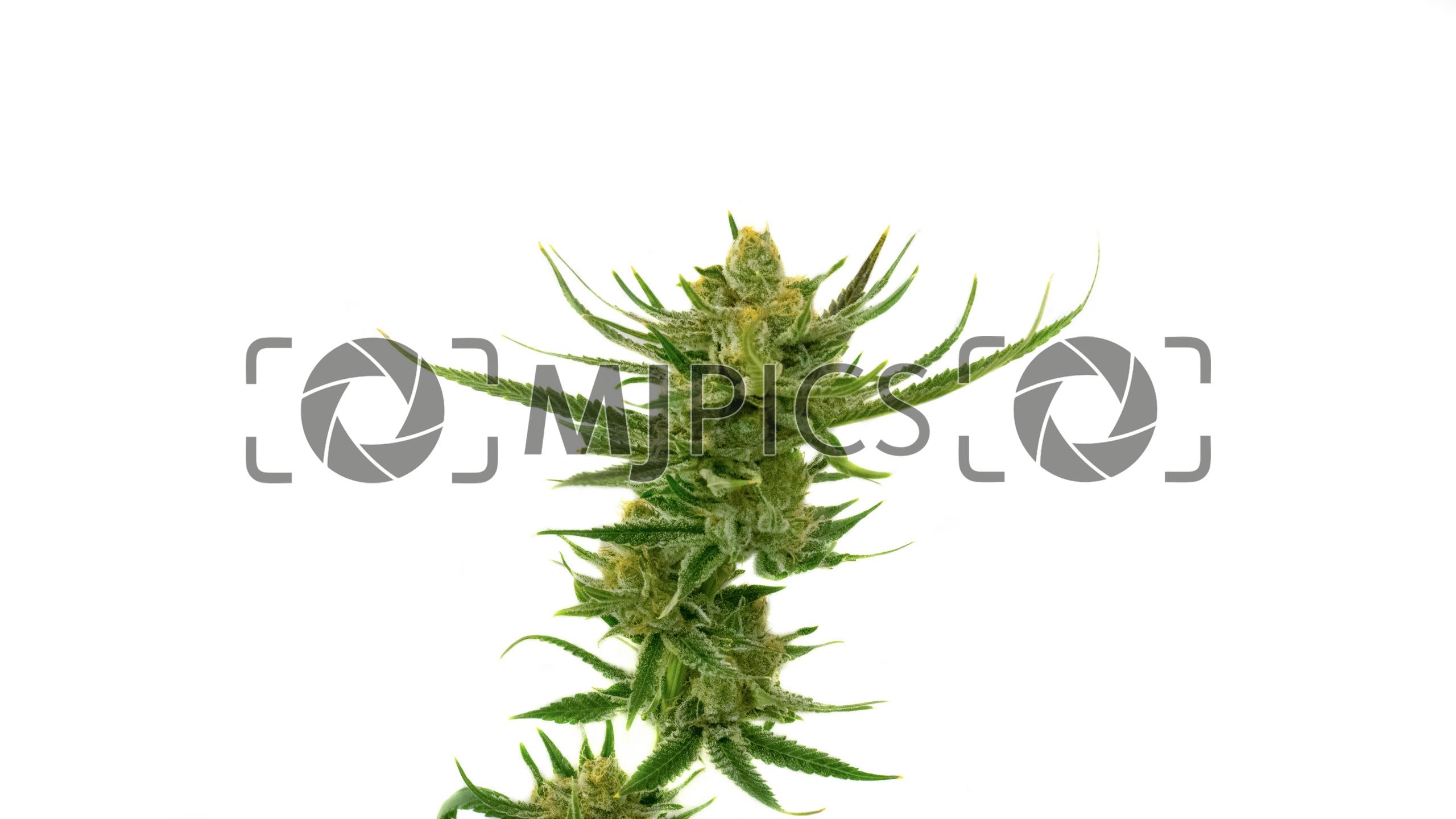 Lemon Tree Autoflower 10000835 download