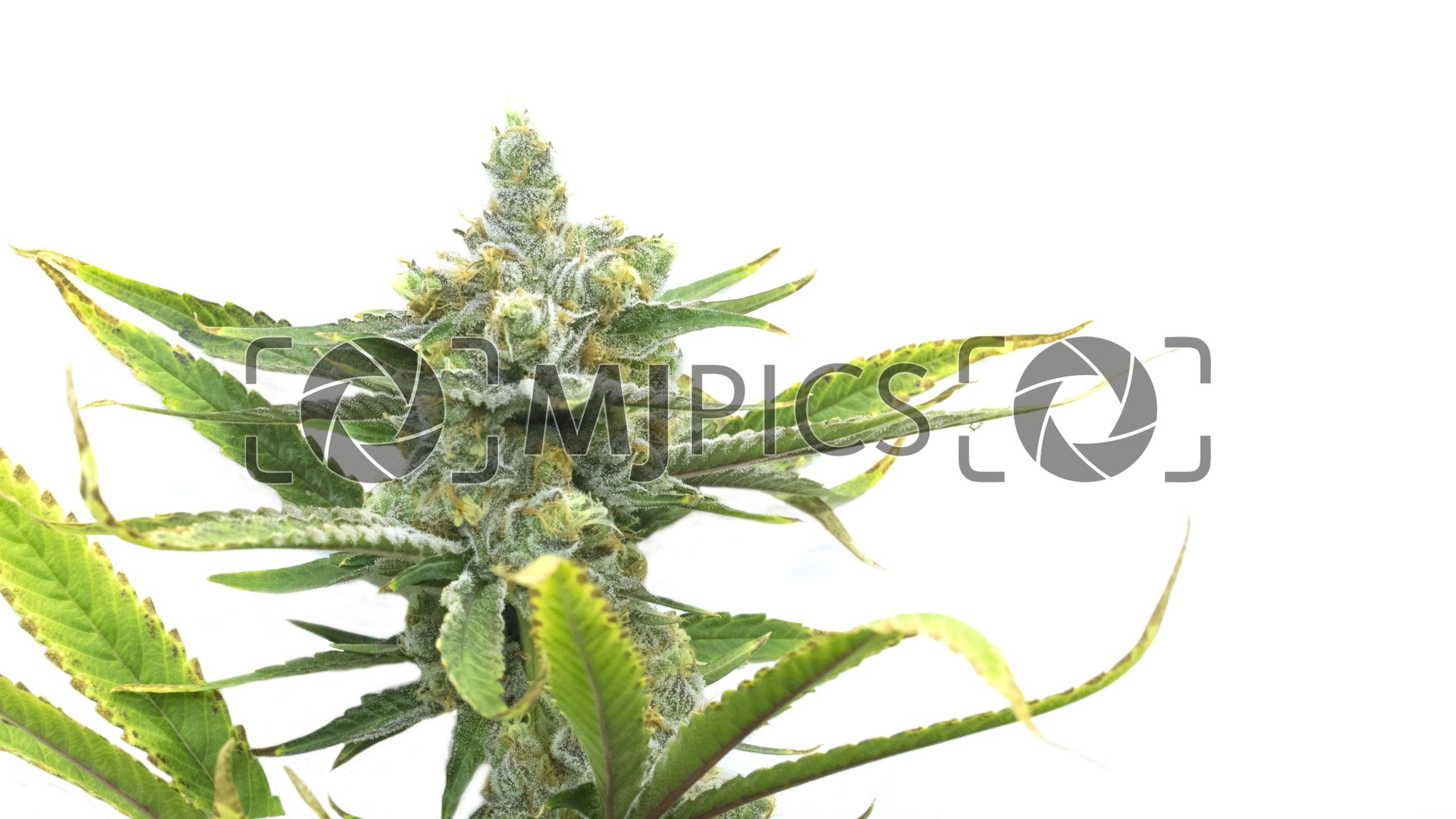 Sweet Tooth Autoflower 10000900 download