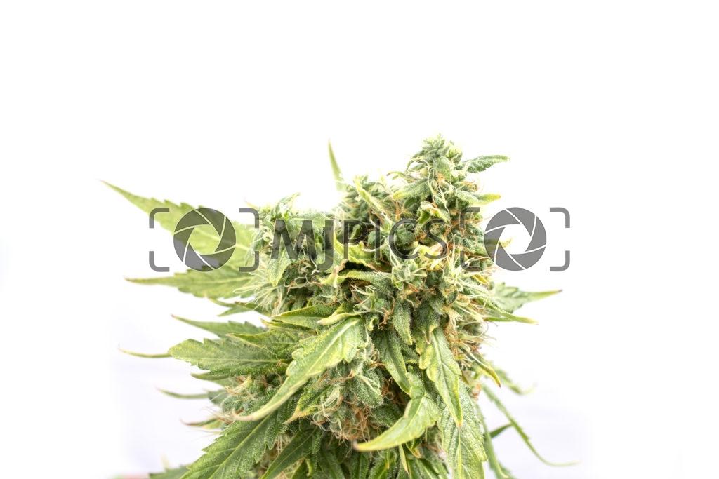 Orange Bud 10000975 download