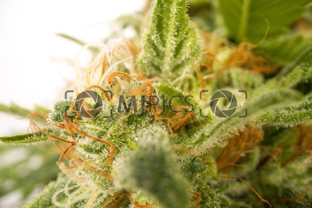 Orange Bud 10000980 download